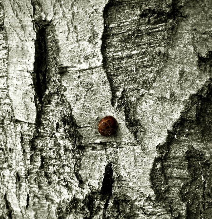 photoblog image Snail on Bark